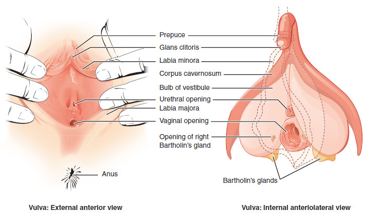Vulvar cancer where is the vulva