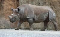 rhino, rhinoceros