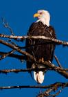bald eagle, American eagle, bald erne