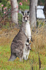 kangaroo, macropod