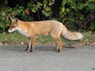 renard, renard roux, r'nard, renard commun