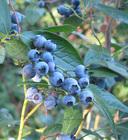 Blueberry in Pashto - English-Pashto Dictionary - Glosbe