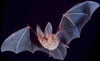 chiroptera, pipistrello
